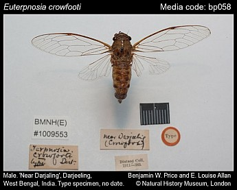 Euterpnosia crowfooti