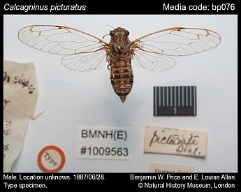 Calcagninus picturatus