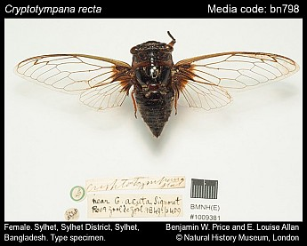 Cryptotympana recta