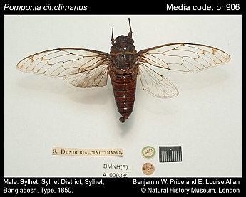 Pomponia cinctimanus