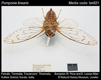 Pomponia linearis